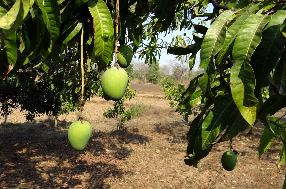 a-to-z-challenge-2017-travel-epiphanies-natasha-musing-L-luxuriant-countryside-mangoes
