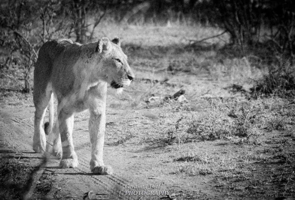 wanderlust-wednesday-adventures-at-kruger-lioness