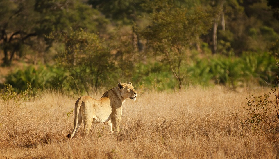 wanderlust-wednesday-blogiversary-adventures-at-kruger-lioness