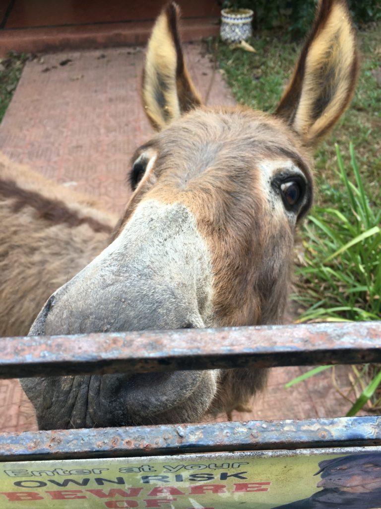 wanderlust-wednesday-dreamy-december-in-olaulim-backyards-donkey
