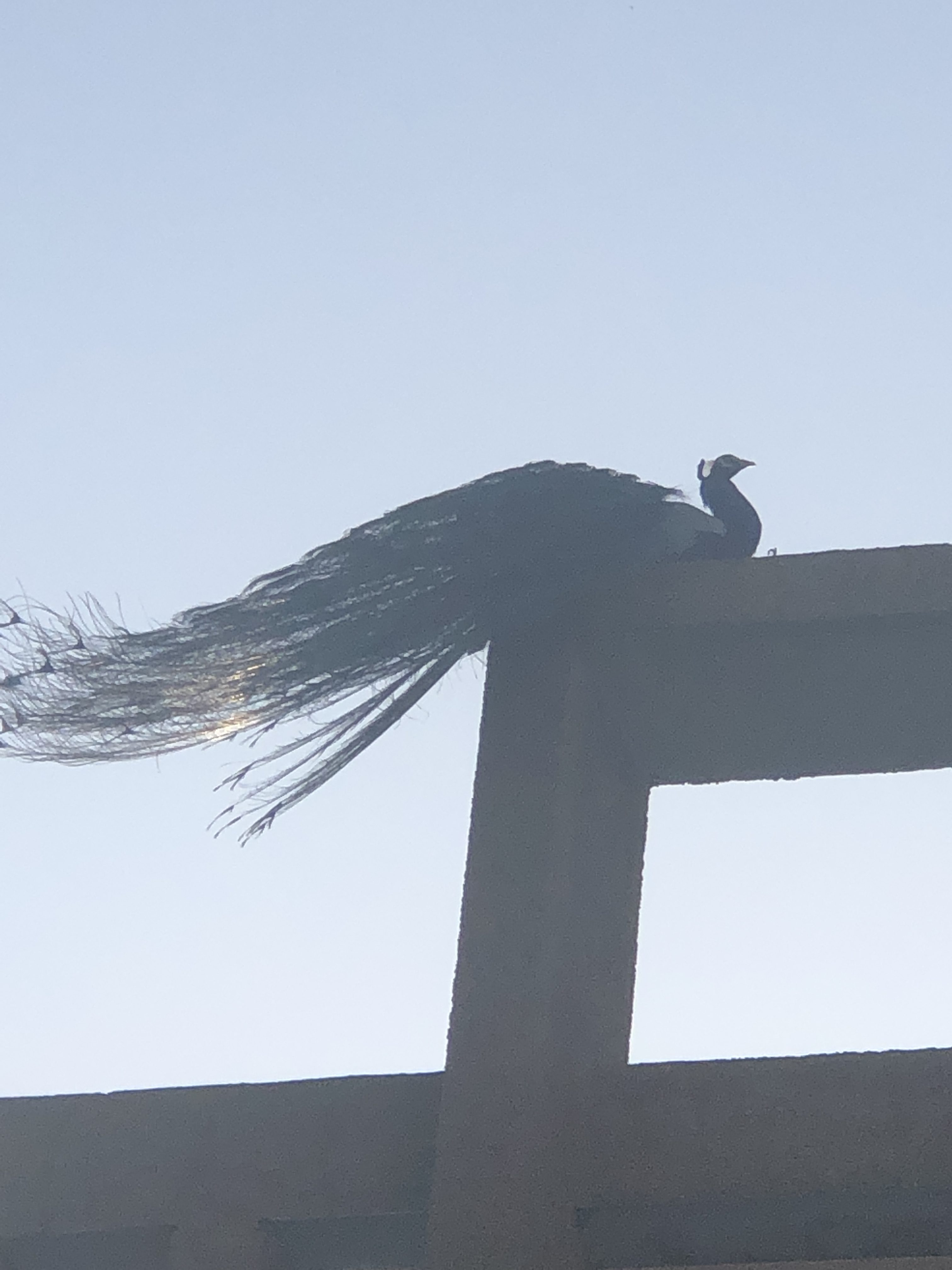 Monday-musings-monday-blogs-natasha-musing-of-morning-walks-peacock