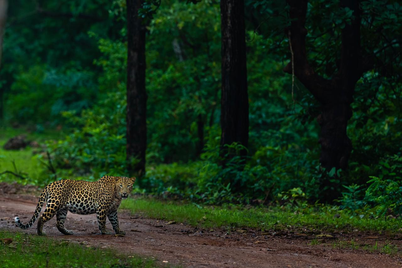 wordless-wednesday-natasha-musing-leopard-the-beauty-with-the-spots-leopard