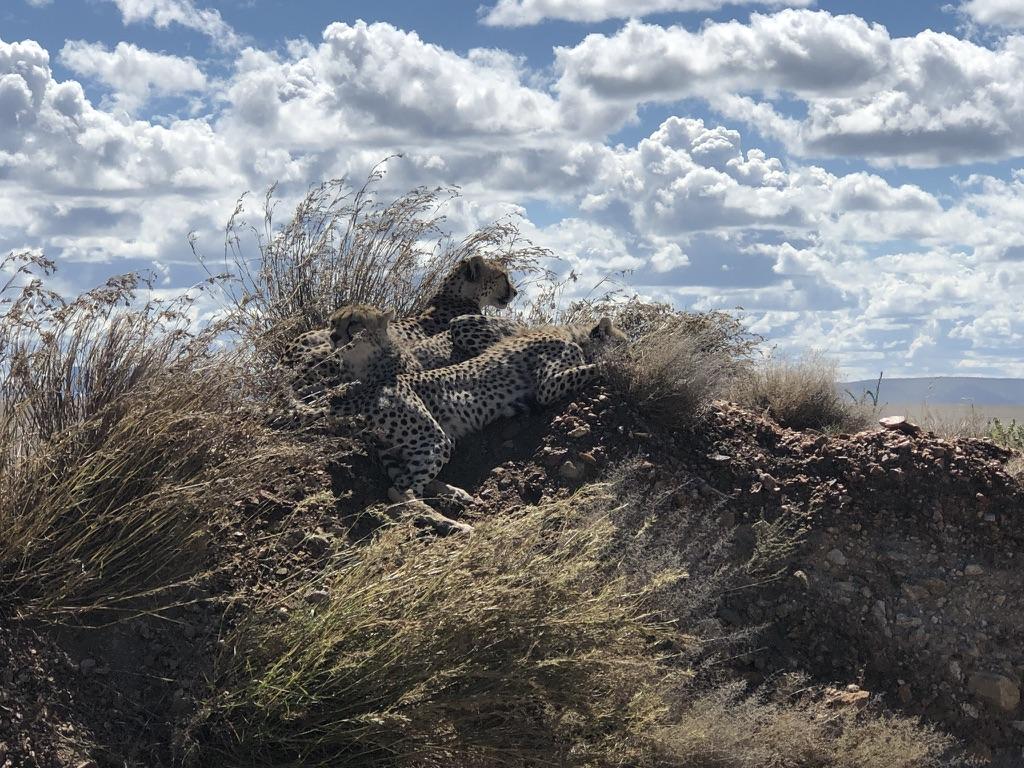 wordless-wednesday-natasha-musing-chancing-upon-cheetahs-african-adventures-cheetahs