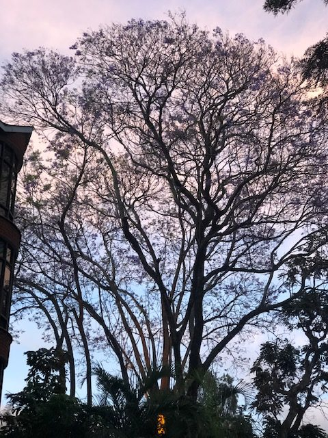 wordless-wednesday-natasha-musing-jacarandas-in-arusha-tree