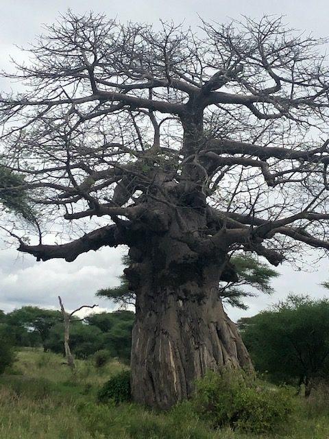 wordless-wednesday-natasha-musing-baobab-tree-tree-of-life-baobab
