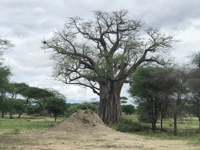 wordless-wednesday-natasha-musing-baobab-tree-tree-of-life-tree