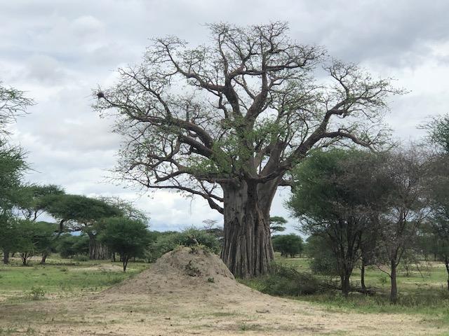 wordless-wednesday-natasha-musing-baobab-tree-tree-of-life-tree