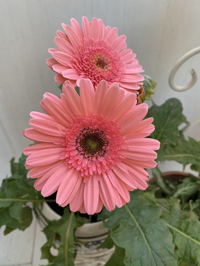 wordless-wednesday-natasha-musing-spring-blossoms-gerbera