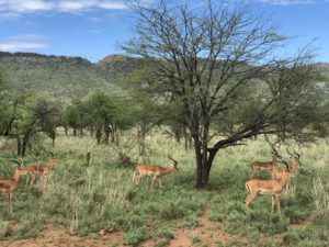 wordless-wednesday-natasha-musing-wilderness-and-lockdown-skies-african-adventures-gazelle