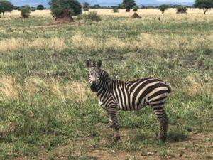 wordless-wednesday-wednesday-wisdom-natasha-musing-wild-africa-african-adventures-zebras-in-africa
