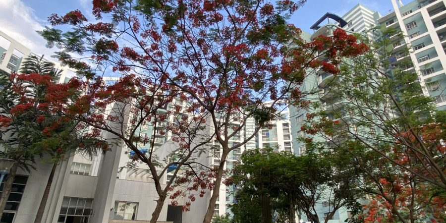 wordless-wednesday-natasha-musing-speeches-with-the-skies-trees-gulmohar