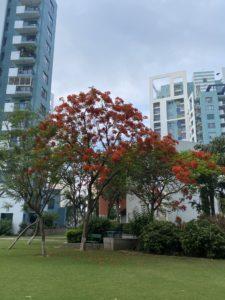 wordless-wednesday-natasha-musing-speeches-with-the-skies-trees-gulmohar