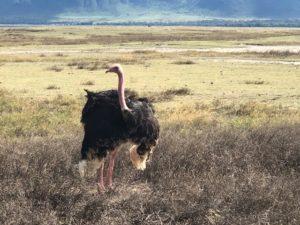 wordless-wednesday-wednesday-wisdom-natasha-musing-wild-africa-african-adventures-ostrich