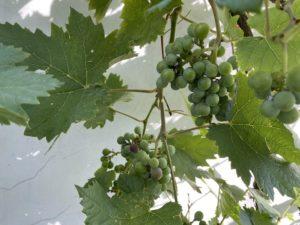 thursday-tree-love-natasha-musing-garden-love-grapes