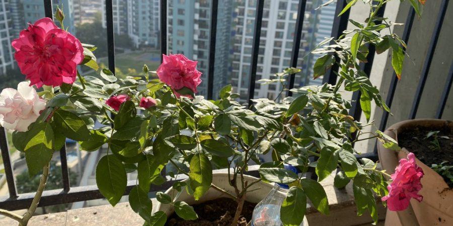 thursday-tree-love-natasha-musing-garden-love-roses