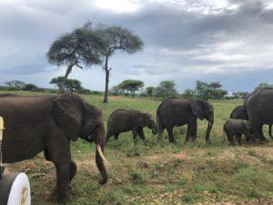 wordless-wednesday-natasha-musing-african-elephants-wild-africa-african-adventures-elephant herd