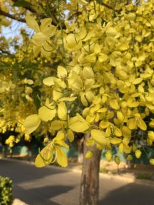 wordless-wednesday-natasha-musing-save-our-environment-laburnum flowers