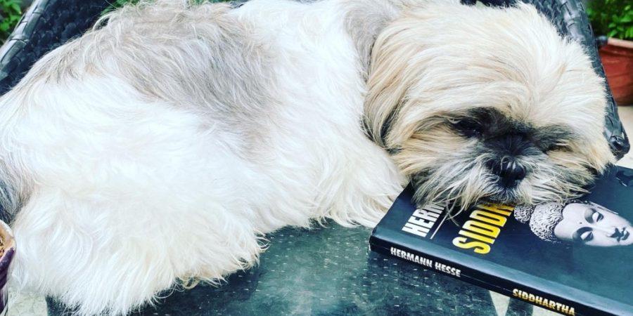 Dog resting on a book, Herman Hesse's Siddhartha