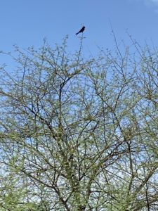 Black Drongo on a Tree Top