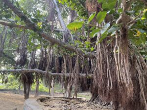Banyan-Tree- hanging-roots