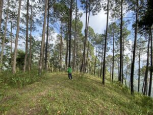 Pine forests- walk