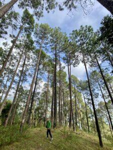 Pine trees-child