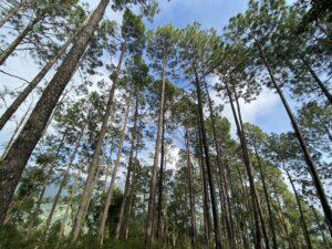 Pine trees-sky