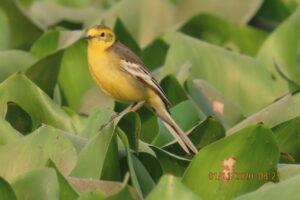 Wagtail - Yellow Wagtail