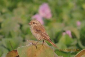 Shrike - Issabeline Shrike