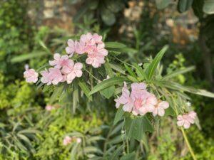 Oleander- pink