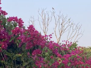 Bougainvillea bush-Birds