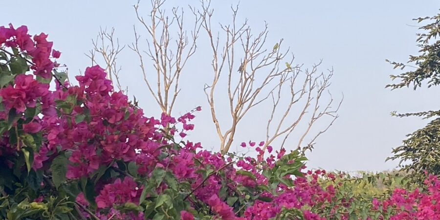 Bougainvillea Bush- Red flowers