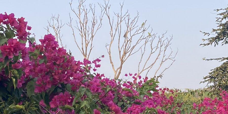 Bougainvillea Bush- Red flowers