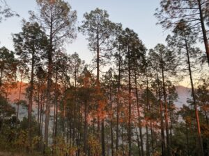 Pine Trees - Sunset