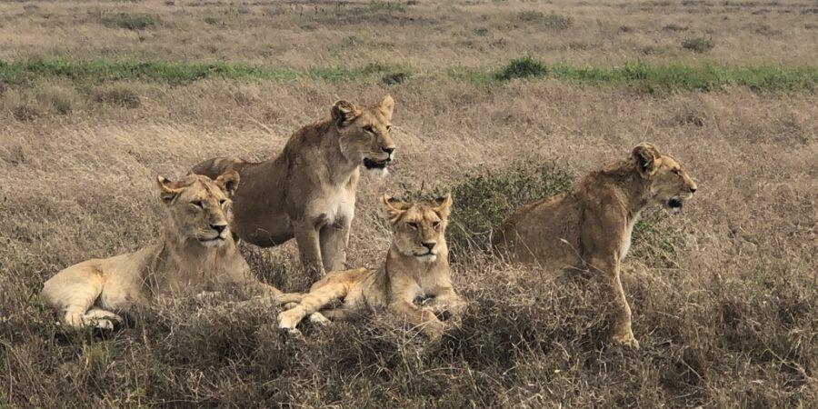 Lion - Pride-moving