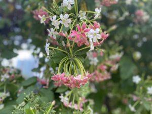 Madhumalti- flowers