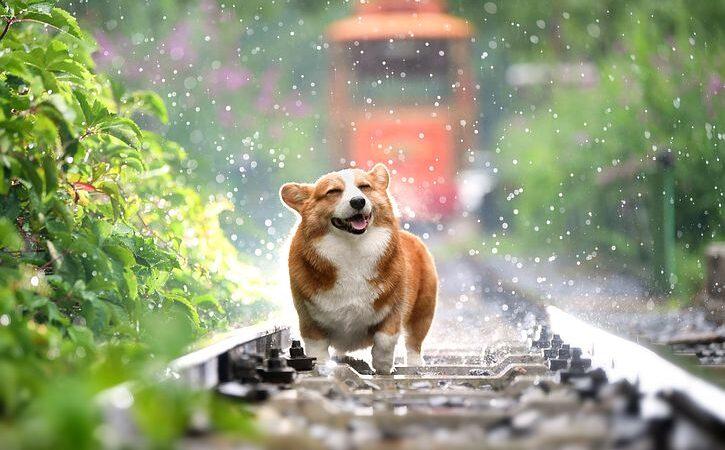 Dog- Rain
