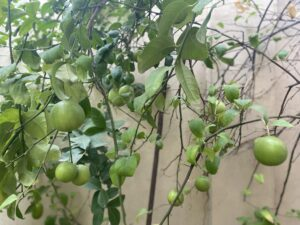Lemon tree- lemons
