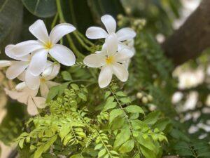 Frangipanis - white
