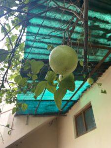 Lemons- Roof