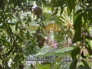 Trees - pomegranate- banana