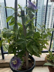 Passion Flower- Creeper plant