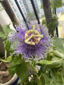 Passion flower - Purple