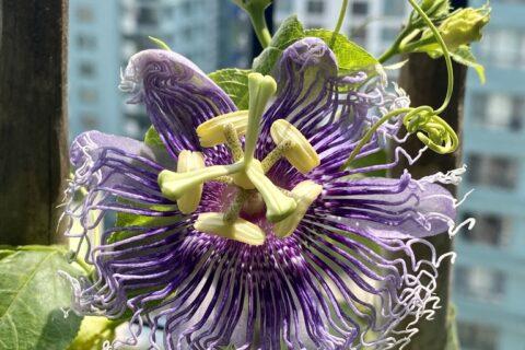 Flower - Passion flower